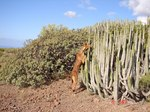 Канарский поденко в кактусах