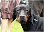 Морда польской охотничей собаки