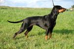 Польская охотничья собака на траве