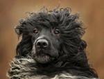 Морда португальской водяной собаки