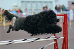 Португальская водяная собака на соревнованиях