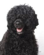 Портрет португальской водяной собаки