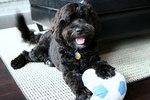 Португальская водяная собака с мячом