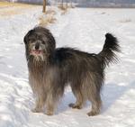 Пиренейская овчарка в снегу
