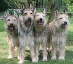 Четыре пикардийских овчарки