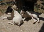 Андалузские трактирные крысоловы
