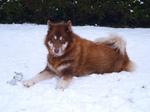 Красная канадская эскимосская собака