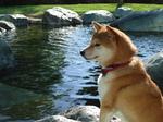 Собака Сиба-ину расслабляется