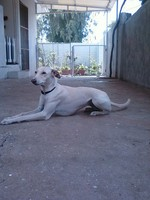 Собака чиппипарай на отдыхе