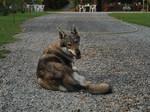 Чехословацкая волчья собака отдыхает