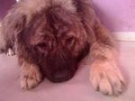 Грузинская горная собака отдыхает