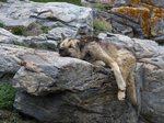Гренландская собака на отдыхе