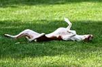 Ивисская собака отдыхает