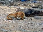 Корейская собака Хиндо отдыхает