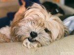 Собака Лхаса Апсо отдыхает
