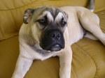 Собака Ка де Бо отдыхает