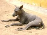 Перуанская голая собака отдыхает