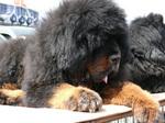 Тибетский мастиф отдыхает