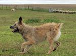 Бегущая собака арденский бувье