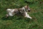 Собака эло бежит