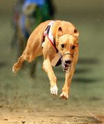 Собака грейхаунд бежит