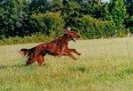 Ирландский красный сеттер бежит