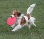 Собака коикерхондье бежит