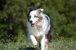 Миниатюрная австралийская овчарка бежит