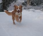Новошотландский ретривер бежит
