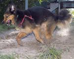 Длинношёрстная немецкая овчарка бежит