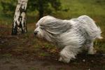 Польская низинная овчарка бежит
