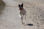 Андалузский трактирный крысолов бежит