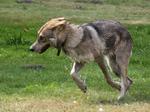 Волчья собака Сарлоса бежит