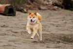 Собака Сиба-ину бежит