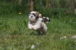Собака ши-тцу бежит