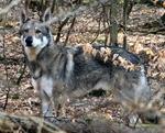 Волчья собака Сарлоса в лесу