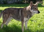 Волчья собака Сарлоса на траве