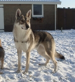 Волчья собака Сарлоса на снегу