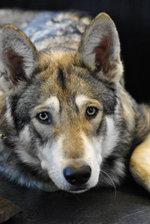 Грустная чехословацкая волчья собака