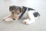 Грустный щенок жесткошёрстного фокстерьера