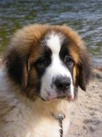 Грустный щенок московской сторожевой