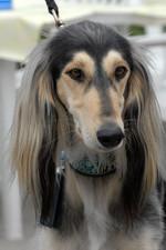Морда собаки салюки