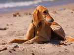 Собака салюки на песке