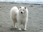 Самоедская собака возле океана