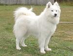 Самоедская собака на траве