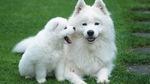 Самоедская собака с щенком
