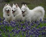 Самоедские собаки в цветах