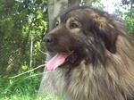 Морда собаки шарпланинац