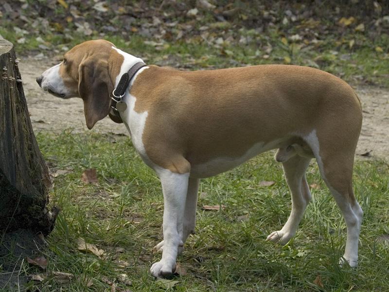 Швейцарская собака фото