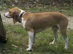 Швейцарская собака